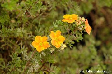Potentilla fruticosa 'Hopley's Orange' (Pięciornik krzewiasty) - C2