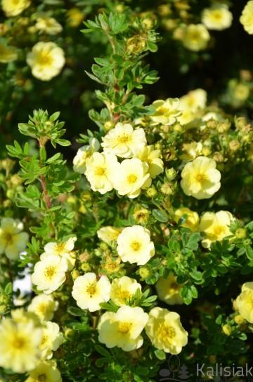 Potentilla fruticosa 'Lemon Merique' (Pięciornik krzewiasty) - C3