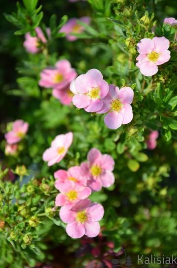 Potentilla fruticosa LOVELY PINK 'Pink Beauty' (Pięciornik krzewiasty) - C3