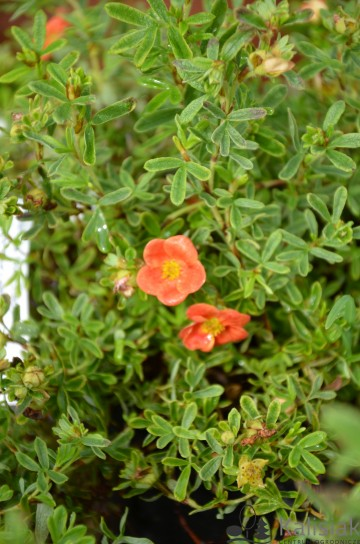 Potentilla fruticosa 'Red Lady' (Pięciornik krzewiasty) - C1,5