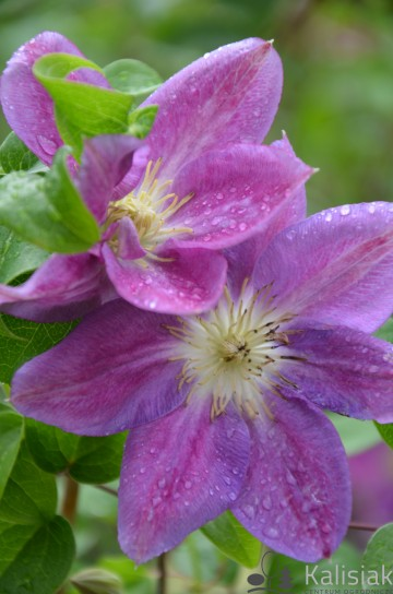 Clematis 'Change of Heart' (Powojnik)  - C2