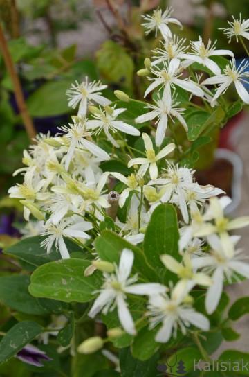 Clematis terniflora 'Early Snow' (Powojnik jesienny, japoński) - C2