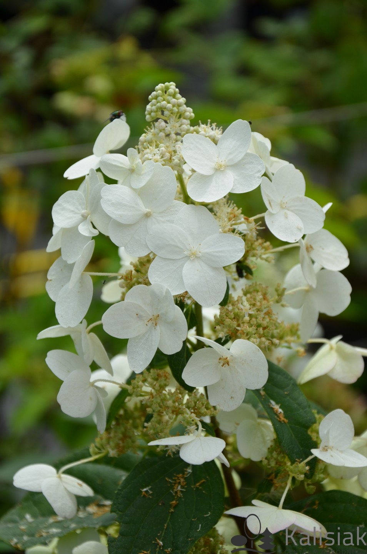 Hydrangea paniculata 'Unique' (Hortensja bukietowa) - C5