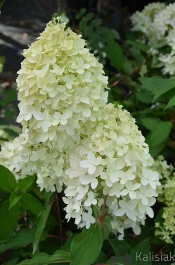 Hydrangea paniculata PINKACHU 'Smhppinka' (Hortensja bukietowa) - C5