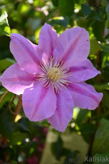 Clematis 'Pink Beauty' (Powojnik) - C2