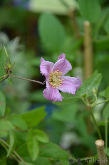 Clematis x diversifolia 'Heather Herschell' (Powojnik różnolistny) - C2
