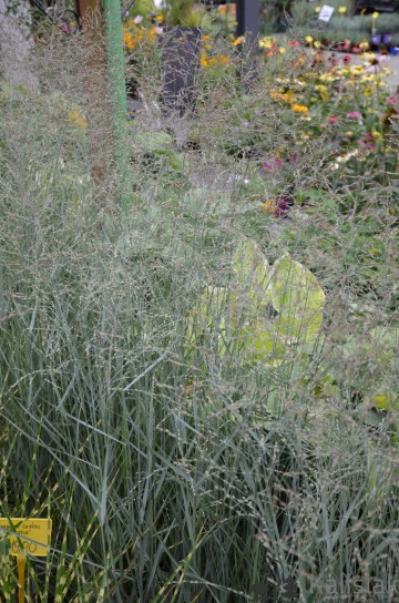 Panicum virgatum 'Prairie Sky' (Proso rózgowate) - C3