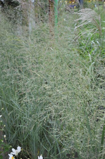 Panicum virgatum 'Northwind' (Proso rózgowate) - C5