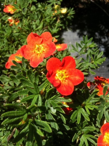 Potentilla fruticosa 'Red Joker'