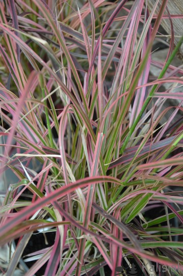 Pennisetum x advena 'Fireworks' (Rozplenica obca) - C2
