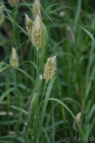 Pennisetum messiacum 'Red Bunny Tails' (Rozplenica) - C5