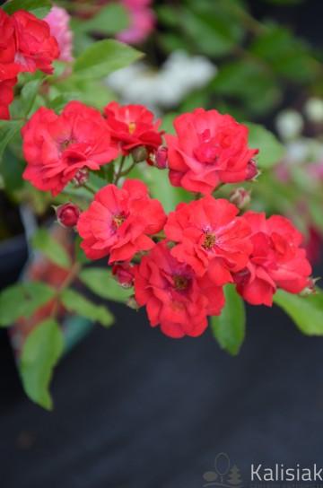 Rosa 'Fairy Dance' (Róża okrywowa) - C2