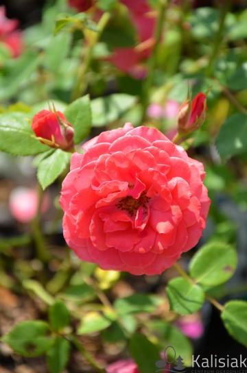 Rosa 'Heidesinfonie' (Róża okrywowa) - C1,5