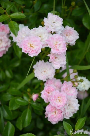 Rosa 'The Fairy' (Róża okrywowa) - C2