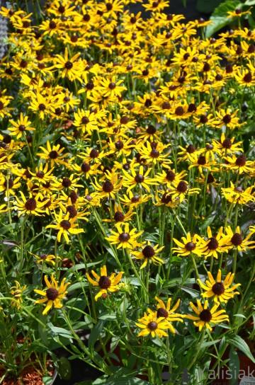 Rudbeckia fulgida 'Little Goldstar' (Rudbekia błyskotliwa) - C2