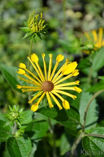 Rudbeckia subtomentosa 'Henry Eilers' (Rudbekia nibykutnerowata) - C2
