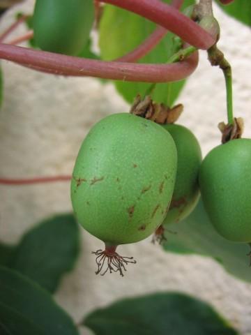 Actinidia arguta 'Kokuwa' (Aktinidia ostrolistna) - C2