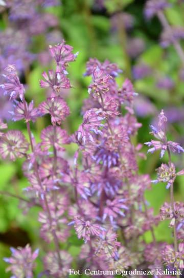 Salvia verticillata 'Purple Rain' (Szałwia okręgowa) - C3