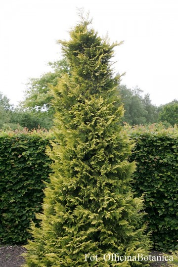 Chamaecyparis lawsoniana 'Golden Wonder'