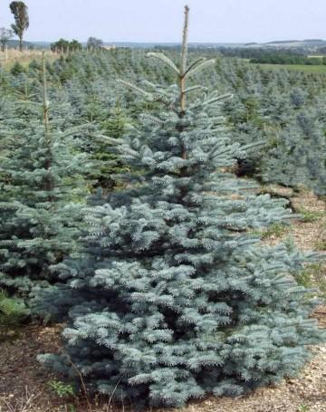 Picea pungens 'Glauca Arizona/Kaibab'