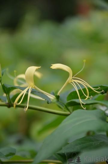 Lonicera similis var. delavayi (Wiciokrzew Delavaya) - C2