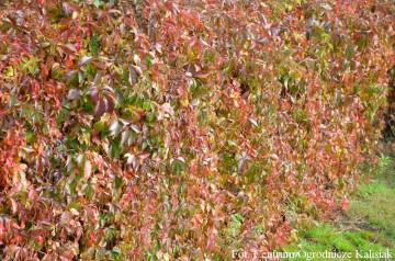 Parthenocissus quinquefolia var. engelmannii (Winobluszcz Engelmanna) - C2