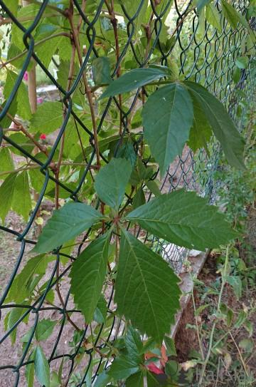 Parthenocissus quinquefolia (Winobluszcz pięciolistkowy) - C2