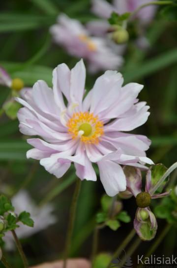 Anemone x hybrida 'Mont-rose' (Zawilec mieszańcowy) - C3