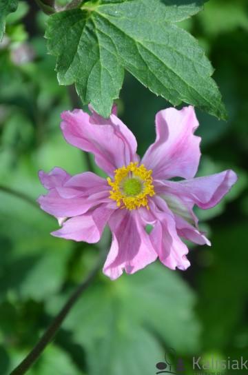 Anemone × hybrida 'Serenade' (Zawilec mieszańcowy) - C3