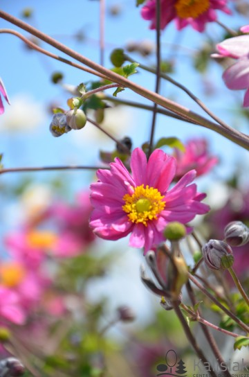 Anemone x hybrida 'Pamina' (Zawilec mieszańcowy) - C3