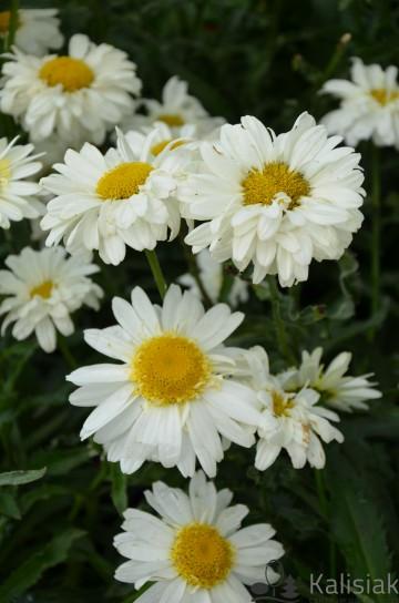 Leucanthemum x maximum 'Real Glory' (Złocień wielki) - C2