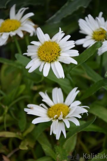 Leucanthemum x maximum 'Snow Lady' (Złocień wielki) - C2
