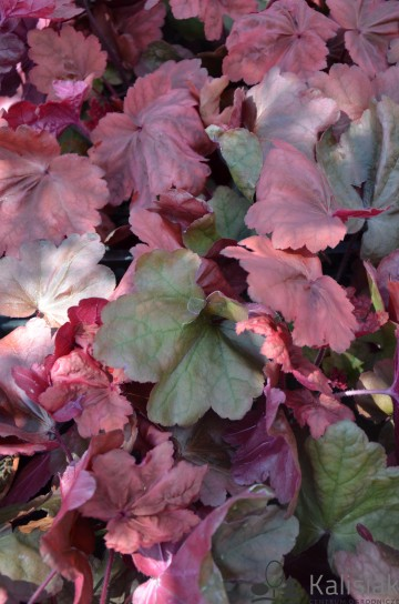 Heuchera 'Autumn Leaves' (Żurawka)  - AN12