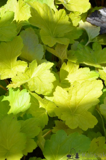 Heuchera 'Electric Lime' (Żurawka)  - C2