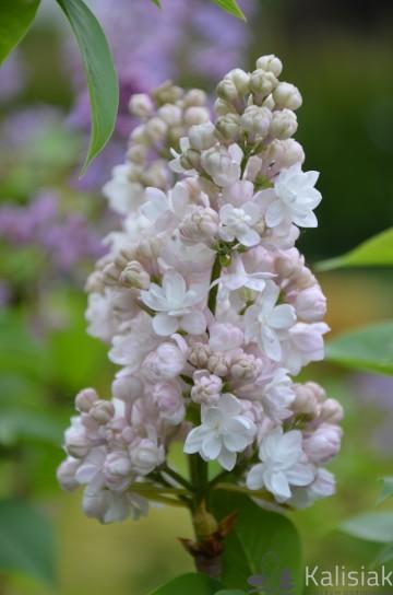 Syringa vulgaris 'Krasawitsa Moskwy' (Lilak pospolity) - C5