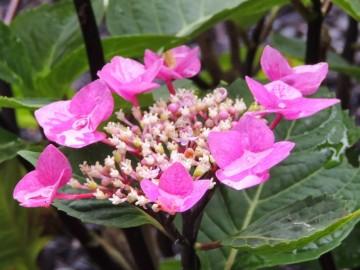 Hydrangea macrophylla 'Zorro Rose'
