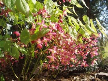 Epimedium ×rubrum (Epimedium czerwone) - P11