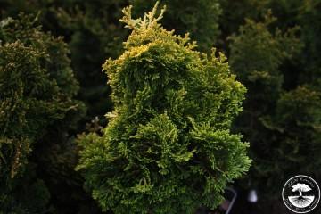 Chamaecyparis obtusa 'Marian'