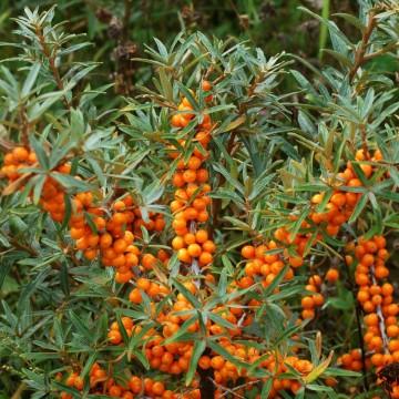 Hippophae rhamnoides 'Friesdorfer Orange' (Rokitnik pospolity) - C5