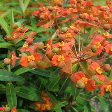 Euphorbia griffithii 'Fireglow' (Wilczomlecz Grifftha) - C3