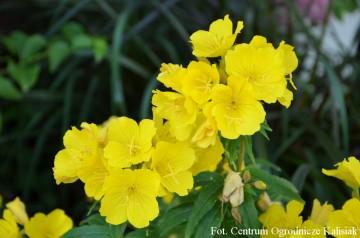 Oenothera fruticosa 'Fyrverkeri' (Wiesiołek krzewiasty) - C2