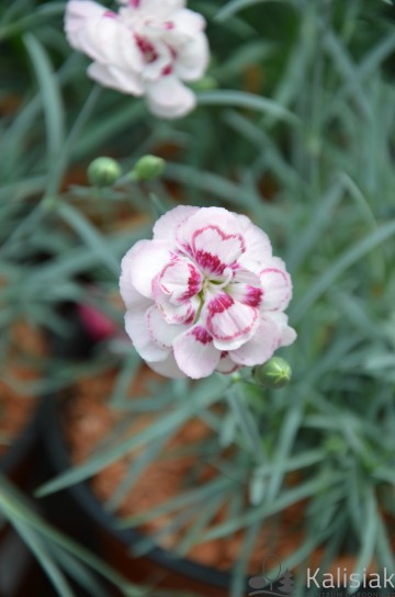 Dianthus plumarius 'Angel of Virtue' (Goździk postrzępiony) - C2