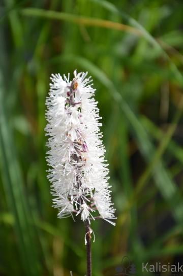 Actaea ramosa 'Pink Spike' (Pluskwica) - C5