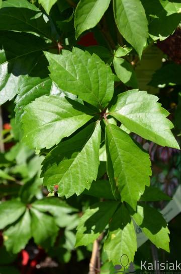Parthenocissus quinquefolia REDWALL 'Troki' (Winobluszcz pięciolistkowy) - C2