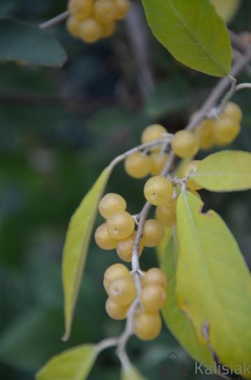 Elaeagnus umbellata POINTILLA FORTUNELLA (Oliwnik baldaszkowy) - C2