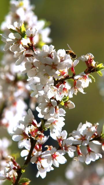 Prunus tomentosa (Wiśnia kosmata) - C2