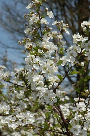 Prunus 'Carmine Jewel' (Wiśnia) - C2
