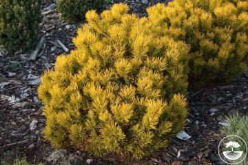 Pinus mugo 'Dezember Gold' (Sosna kosodrzewina) - C5