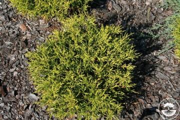 Chamaecyparis pisifera 'Sunset' (Cyprysik groszkowy) - C5