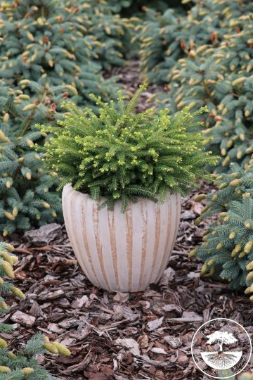 Picea abies 'Tabuliformis' (Świerk pospolity) - P16